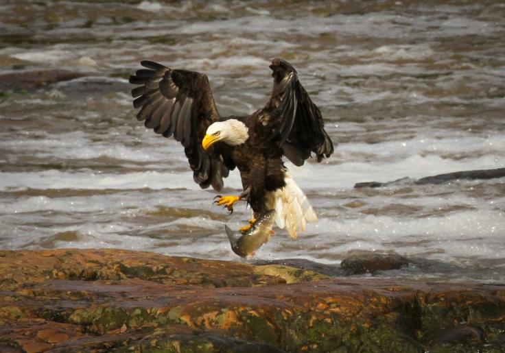 Haw River Bald Eagle