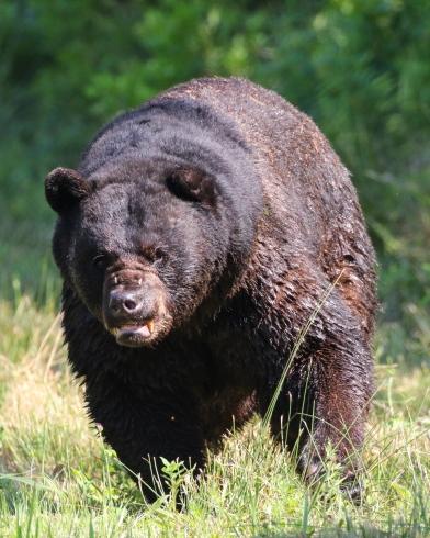 Waldron_Bear1