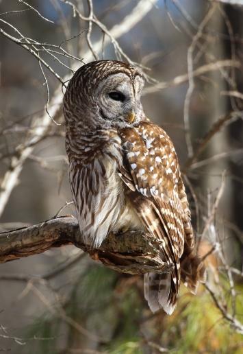 Barred owl at sunrise